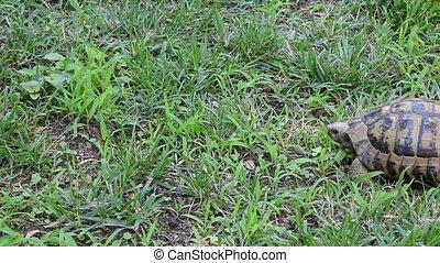 Turtle walking - Little wild or domestic turtle walking on...
