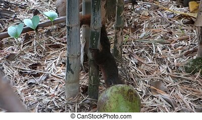 Squirrel in Bamboo Grove. - Squirrel Eating a Coconut in a...
