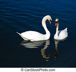 Two swans fishing in a lake