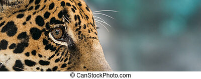 jaguar Panthera onca in zoo