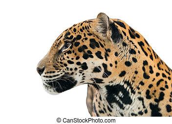jaguar ( Panthera onca ) isolated on white background