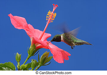 Ruby-throated Hummingbird - Male Ruby-throated Hummingbird...