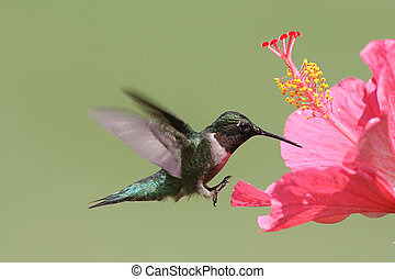 ruby-throated, Colibrí
