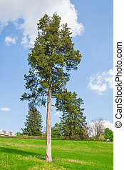 Pine tree again sky in land-art-park, nature photo