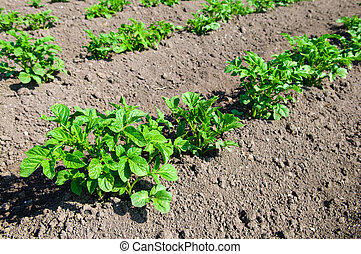 young potato plants
