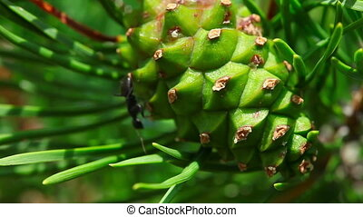 Black Ant - Black ant on pinecone, macro