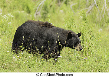 Black bear in a field