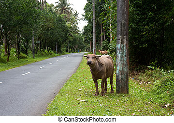 Carabao - A Carabao tied up on the side of a road