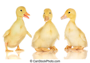 Three ducklings on white - Three ducklings isolated on white