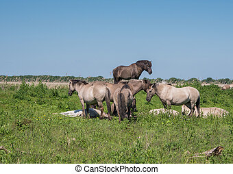 Goup of Konik horses in Dutch nature reserve