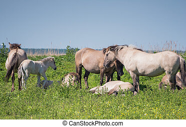 Goup of Konik horses in Dutch nature reserve with young foal