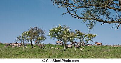 Goup of Konik horses standing underneath trees in Dutch...