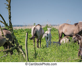 Adult Konik horse and foal - Adult and young konik horse...