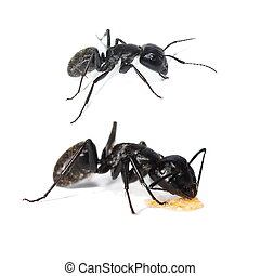 Carpenter ant isolated on white - Big forest black ant...