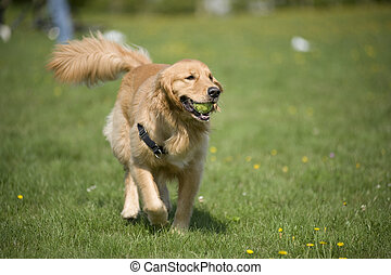 Dog with Ball - A Golden Retriever prances through a field...