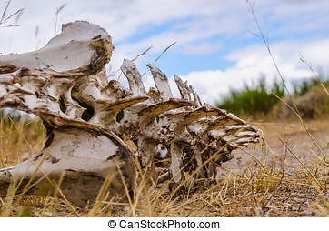 Vertebrate bones - Skeleton of a vertebrate animal lying on...