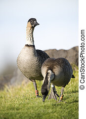 A pair of endangered Hawaiian Geese (Nene) - The late...