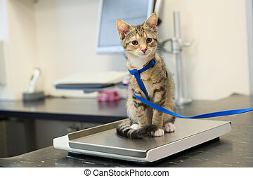Little cat on weight scale - Little kitten on weight scale...