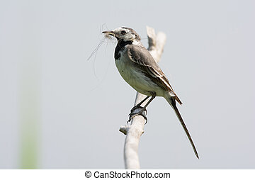 White Wagtail - White wagtail with nest material