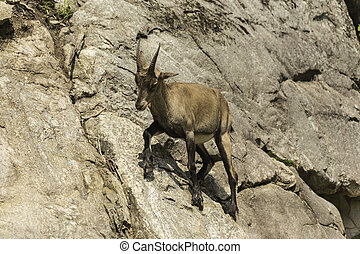 Ibex on a cliff