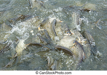 Silver barb fish in pond - Silver barb fish (Java barb) in...