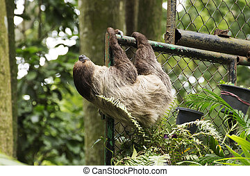 Hoffmanns two-toed sloth - young Hoffmanns two-toed sloth on...