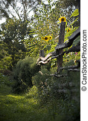 Sunflowers along old fence outside.