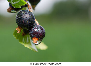 Blackcurrant  on a branch after a rain