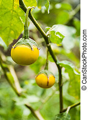 Yellow fresh eggplant on tree in a garden, nature...