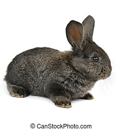 black little rabbit isolated on white background