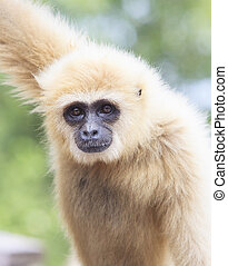 close up face of White Cheeked ,white hand Gibbon or Lar...