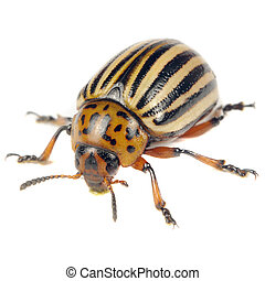 Colorado Potato Beetle Isolated on White Background - A...