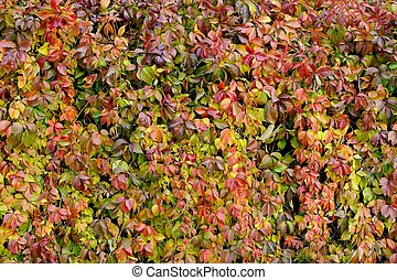Parthenocissus Quinquefolia or Virginia Creeper Changing...