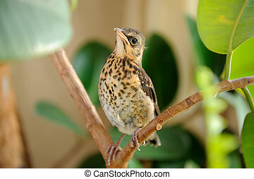 Cute Young Fieldfare on Tree - A cute young fieldfare...