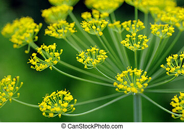 Dill Umbel Close-Up - A close-up of dill umbel with flowers