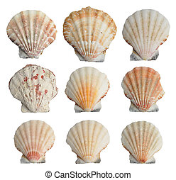 Set of seashells - Collection of seashells isolated on white...