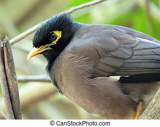 Common Myna Bird In Mauritius Island