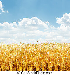 golden wheat on field and blue sky with clouds