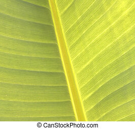 Banana leaves - Banana leaves, bright green leaves natural...