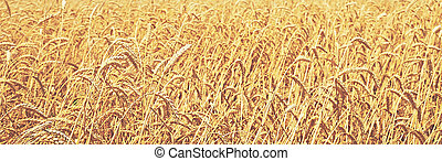 wheat field natural background