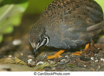 Button Quail - Close-up of button quail foraging for food.