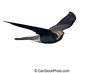 Bird cuckoo in flight - Vector of a cuckoo in flight