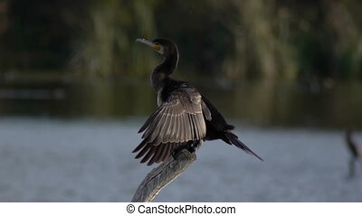 common cormorant - wiping common cormorant feathers on the...