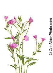 Great Willowherb wild flowers and foliage isolated against...