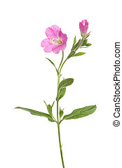 Great Willowherb, Epilobium hirsutum, wild flower and...