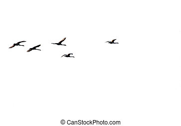 Swans in flight - The photograph of a isolated flock of...