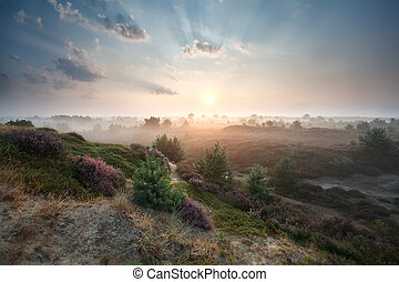 summer sunrise over dunes with flowering heather