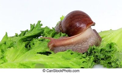 Burgundy snail eating a lettuce leaf Macro