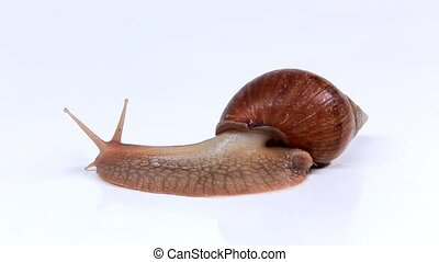 Garden snail on white background. Macro.