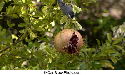 sardinian warbler - Sardinian Warbler eating the fruit of...